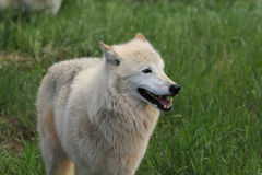 White wolf. In the spring grass Royalty Free Stock Images