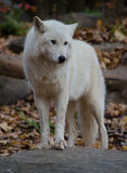 White Wolf Standing Royalty Free Stock Photography