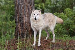 White wolf standing by tree Stock Images