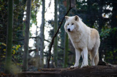 White wolf stands royalty free stock image
