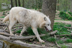White wolf walks in a forest