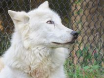 White Wolf. Wild wolf dreaming of freedom Royalty Free Stock Photography