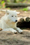 White wolf royalty free stock image
