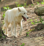 White wolf Stock Photo