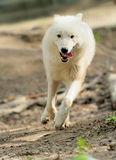 White wolf Stock Photography
