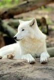 White wolf Stock Image