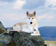 White wolf  in wildness area Royalty Free Stock Image