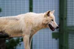 White wolf in the zoo. Big white wolf in the zoo looking for something Royalty Free Stock Photo