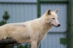 White wolf in the zoo. Big white wolf in the zoo looking for something stock image