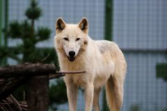 White wolf in the zoo. Big white wolf in the zoo looking for something stock photo