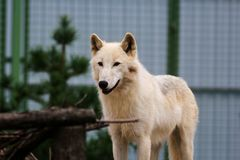 White wolf in the zoo. Big white wolf in the zoo looking for something royalty free stock images