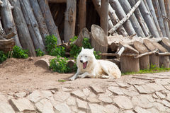 White wolf in a zoo Royalty Free Stock Photos