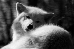 WHite wolfe. At Duisburg zoo in balck and white royalty free stock photography