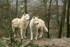 White Wolfs in a forest Royalty Free Stock Image