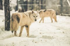 White Wolfs Pack Stock Images