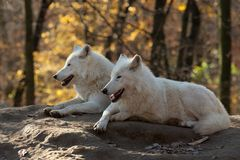 White Wolves. Resting on a rock Stock Photography