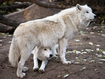White wolves couple Royalty Free Stock Image