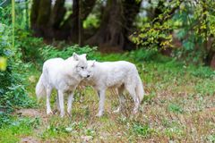 A couple of white wolves royalty free stock photography
