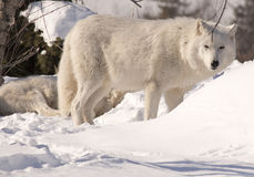White Wolves in Snow. White Wolf (Arctic Wolf) standing guard over packmate who is sleeping. Looking at camera Royalty Free Stock Photography