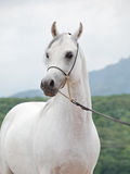 White wondeful arabian stallion at mountain background Royalty Free Stock Photography