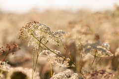 White Wonder. Macro of a White Summer Flower on a warm morning in Oberfranken, Bavaria Royalty Free Stock Photos