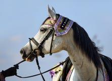 White wonderful arabian stallion at sky background royalty free stock photos