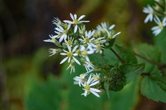 White Wood Aster – Eurybia divaricate Royalty Free Stock Image