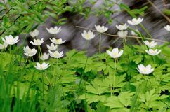 White wood  flowers Stock Images
