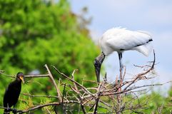 White Wood stork bird perched in tree in wetlands Royalty Free Stock Photo