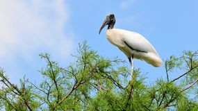 White Wood stork bird on tree in wetlands Royalty Free Stock Images