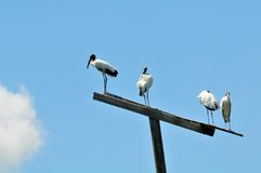 White Wood stork birds on top of a pole in wetland Stock Photo