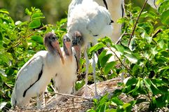 White wood stork chicks in nest in wetlands Stock Photography