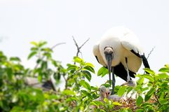 White wood stork family in South Florida Stock Images