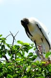 White wood stork family, South Florida Stock Photo