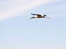 White wood stork in flight Royalty Free Stock Photo