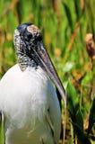 White wood stork portrait Stock Photos