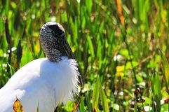 White wood stork posing for portrait Royalty Free Stock Image