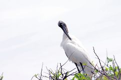 White wood stork preening feathers on top of tree Royalty Free Stock Photo