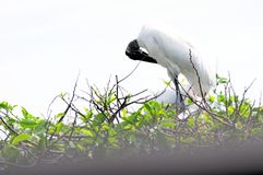 White wood stork preening feathers on top of tree Royalty Free Stock Image