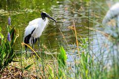 White wood stork in rippled water Stock Images