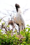 White wood stork on top of tree in nest Stock Photo
