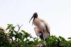 White wood stork on top of tree in South Florida Royalty Free Stock Image