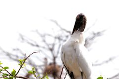 White wood stork on top of tree in wetlands Royalty Free Stock Photo