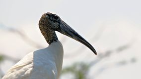 White wood stork in wetlands Royalty Free Stock Images