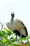White wood storks, Delray Beach, South Florida Stock Images