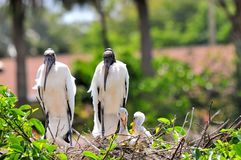 White wood storks in nest in wetlands Royalty Free Stock Photos