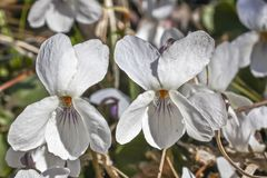 White Wood Violet flower Royalty Free Stock Images