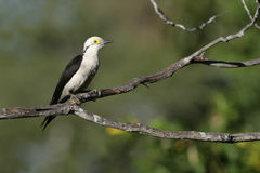 White woodpecker, Melanerpes candidus Royalty Free Stock Photos