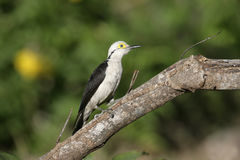 White woodpecker, Melanerpes candidus Royalty Free Stock Image