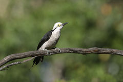 White woodpecker, Melanerpes candidus Royalty Free Stock Photography